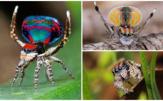 Description et photo de l'araignée paon