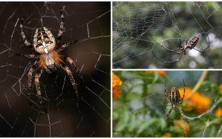 Les araignées savent-elles voler?