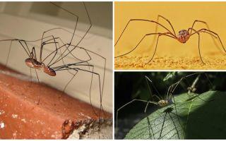 Araignée tondre avec de longues jambes minces