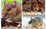 Que mangent les souris