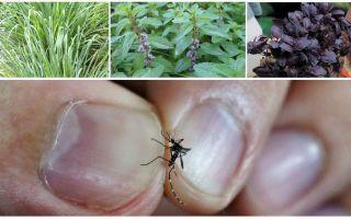 Quelles plantes repoussent les moustiques: herbe, arbres et fleurs