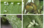 Méthodes de gestion des aleurodes sur les tomates en serre