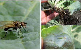 Comment faire face à une mouche du chou et ses larves