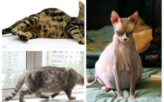 Comment éliminer les puces d'une chatte enceinte