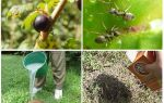 Comment traiter les fourmis et les pucerons sur les groseilles