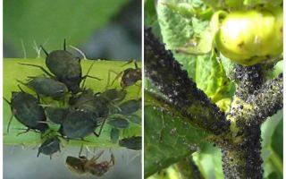 Comment traiter les pucerons noirs sur les tomates et les concombres