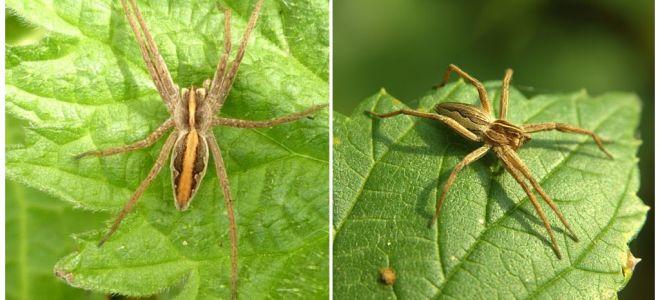 Description et photos des araignées de la région de Saratov