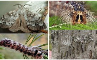 Description et photo d'une chenille et d'un papillon du ver à soie de Sibérie