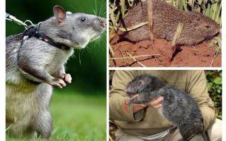 Les plus gros rats du monde