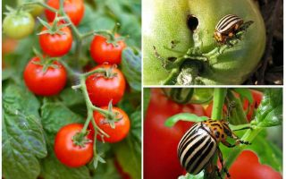 Comment traiter les tomates du doryphore