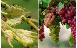 Comment traiter les pucerons sur le raisin folklorique et des moyens commerciaux