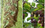 Comment et quoi traiter les pucerons sur la prune