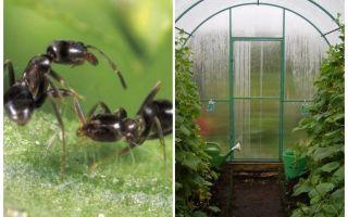 Comment traiter les fourmis dans les remèdes populaires à effet de serre
