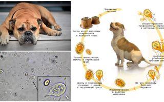 Symptômes et traitement de Giardia chez le chien