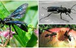 Description et photo de guêpes noires