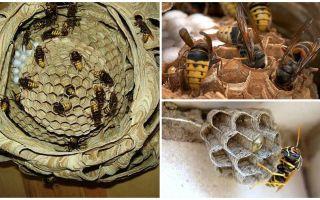 Comment détruire le nid de frelons, même dans un endroit isolé