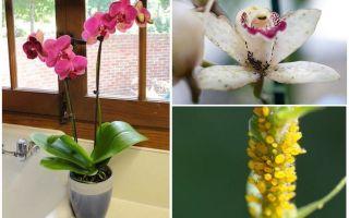 Comment traiter les pucerons sur les orchidées