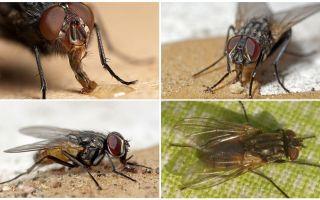 Durée de vie mouches