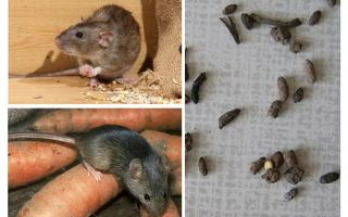Comment traiter les rats dans une maison privée