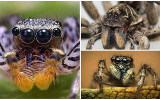 Combien d'yeux a une araignée?
