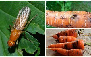 Comment se débarrasser des mouches à carottes