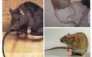 Pourquoi la queue de rat