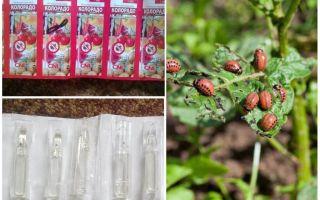 Remède du Colorado pour le coléoptère de la pomme de terre colorado