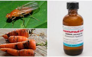 Lutte contre la mouche des carottes avec de l'ammoniac