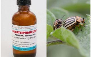 L'ammoniac contre le doryphore