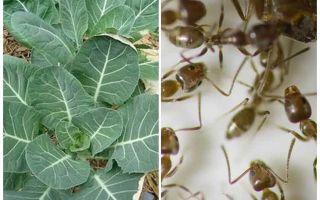 Comment sauver le chou des fourmis