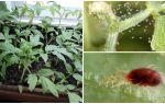 Méthodes de lutte contre les tétranyques sur les semis