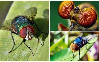 Combien d'images par seconde une mouche voit-elle et combien d'yeux a-t-elle