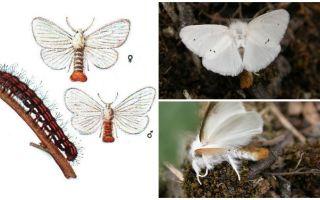Description et photo du papillon et des chenilles