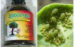 Traitement du savon vert des pucerons