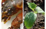 Comment protéger les semis de Medvedka