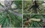 Comment et quoi traiter le pin des chenilles