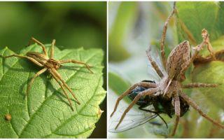Combien d'araignées ordinaires vivent dans un appartement et dans la nature