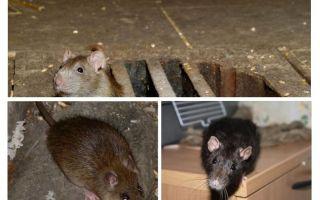 Comment attraper un rat dans la maison