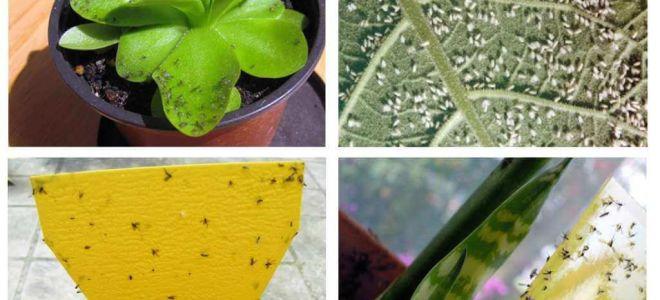 Comment traiter les mouches dans des pots de fleurs