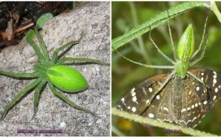 Araignées vertes en Russie