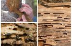 Comment traiter les scolytes sur les arbres fruitiers