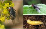 Description et photo d'une mouche de viande (mortel)