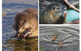 Rats d'eau