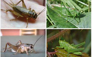 Différences cricket et sauterelle