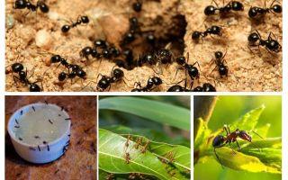 De quoi les fourmis ont peur