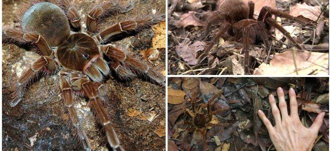Description et photo de l'araignée oiseau goliath
