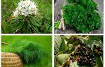 Remèdes populaires efficaces contre les poux et les lentes