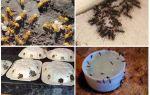 Comment se débarrasser des fourmis jaunes dans la maison d'été ou dans le jardin
