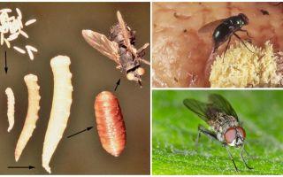 Que se passe-t-il si vous mangez des œufs ou des larves de mouches?