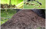 Sur quel côté de l'arbre les fourmis vont construire une fourmilière